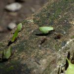 Palenque - Blattschneideameisen