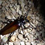 Palenque - Käfer