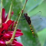 Palenque - Libelle