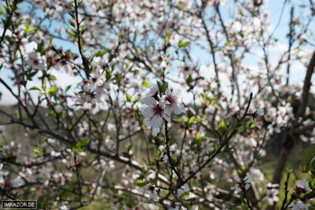 Die Mandelblüte: Der Anblick, aber auch der Geruch beeindruckt!
