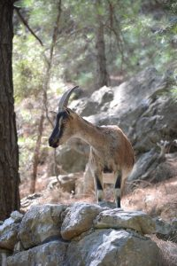Kri Kri Ziege Samaria-Schlucht